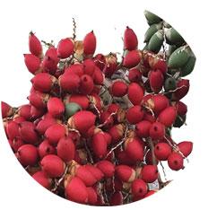Adonidia palm seed