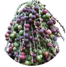 Caryota palm seed